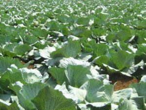 FAO promove agricultura em zona declivosa em STP