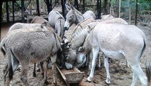 Burros enviados por Angola foram salvos e vão ser úteis na agricultura e no turismo