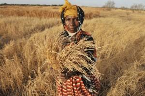 FAO prevê produção recorde de cereais em 2017